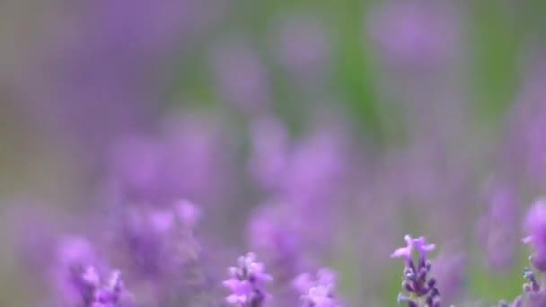 Levendula virág virágzó illatos mezők végtelen sorokban naplementekor. Szelektív fókusz a levendula lila illatos virágok bokrok a levendula mezők a francia Provence közelében Valensole.