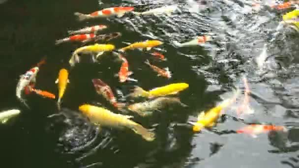 Barevné ozdobný kapr nebo japonské koi Ryby plavou v rybníku.