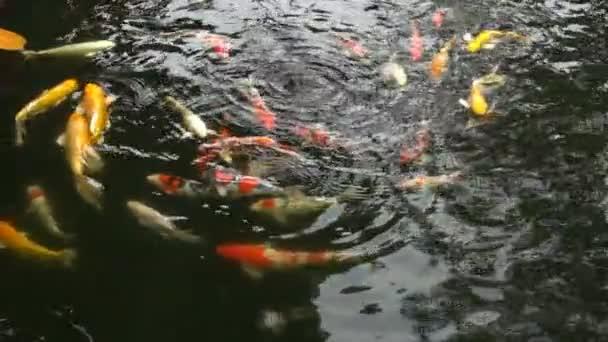 Barevné ozdobný kapr nebo japonské koi Ryby plavou v rybníku. Super slow motion 120 snímků za sekundu