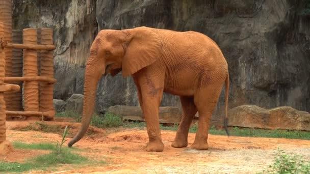 Obří africký slon s stick červené půdy stojí v zoo