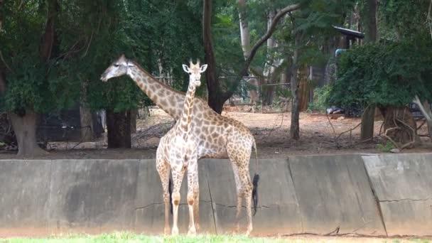 Skupina africké savany nebo žirafy v zoo. Roztomilé zvíře