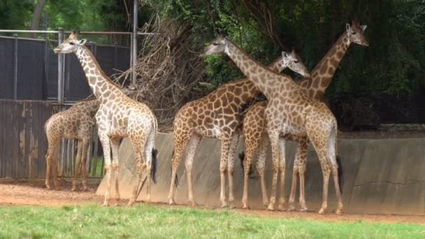 Group of african savannah or giraffes in zoo. Cute animal