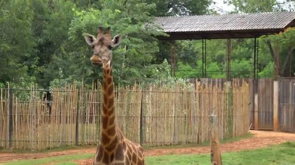 African Savannah Giraffes Eating Banana Tourist Zoo Stock Video