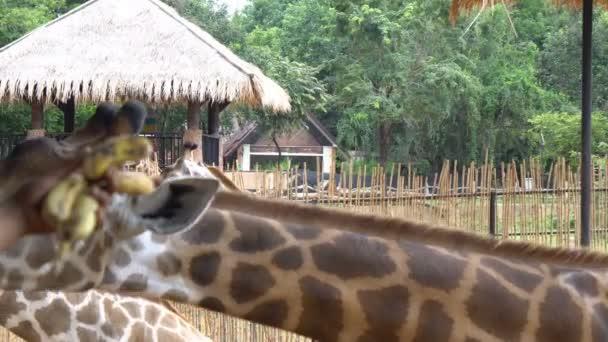 africké savany nebo žirafy jíst banán od turistických v zoo