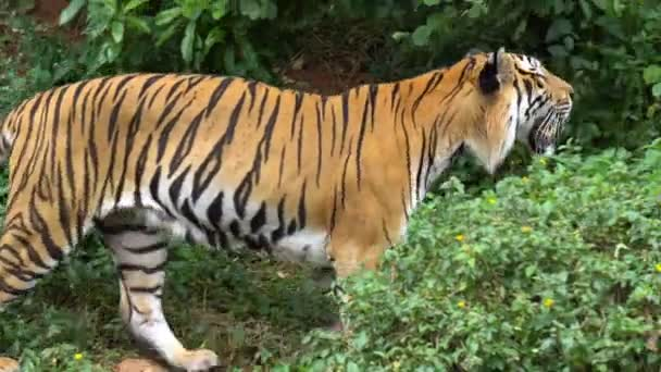 Tiger walking inside the jungle is looking scary in zoo