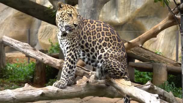 leopardí sedět v džungli v zoo. Zvíře s krásnou pleť.