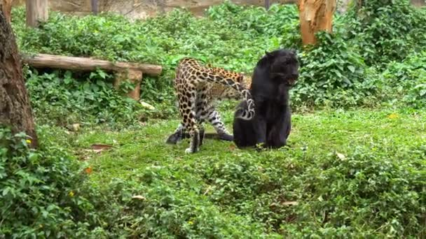 black leopard or black panther and leopard playing cute on grass.