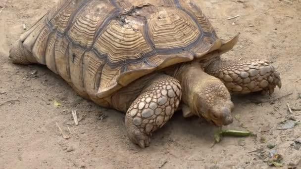 Közelkép a angonoka teknős vagy ekevas teknős földön állatkertben. Óriás teknős.