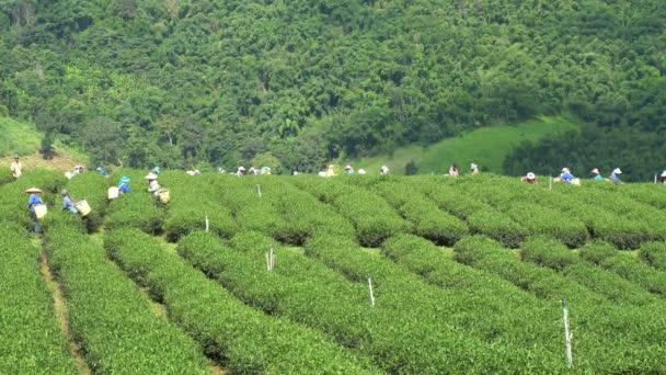 CHIANG RAI, THAILAND - SEPTEMBER 25 : Hill tribe women have a basket of tea leaves on tea plantation on September 25, 2018 on a tea plantation at 101 Doi Mae Salong, Chiang Rai, Thailand.