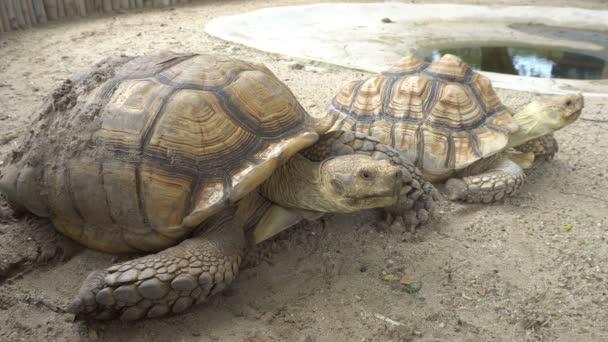 Sulcata teknős feküdt a narancssárga földön, közel a pocsolya.