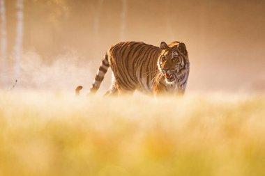 Tiger runs behind the prey. Hunt the prey in tajga in summer time. Tiger in wild summer nature. Action wildlife scene, danger animal.