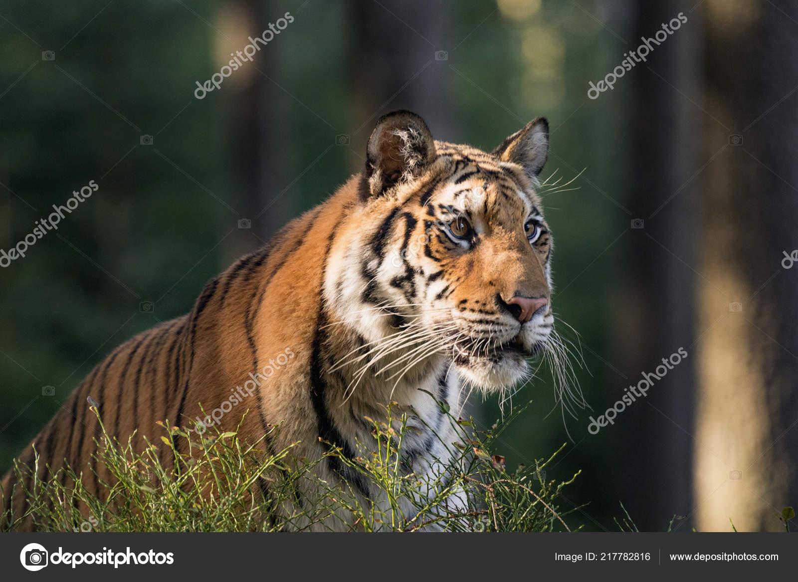 Retrato Tigre Tigre Tajga Horário Verão Tigre Natureza