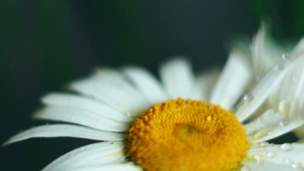 Close-up of a daisy flower on which fresh drops of summer rain fall. Macro, shallow depth of field, some objects out of focus