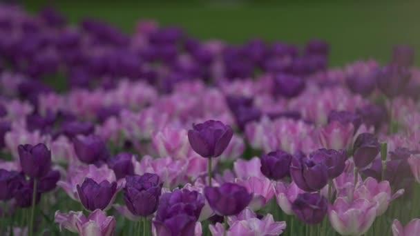 V pařížských parcích je spousta fialových tulipánů