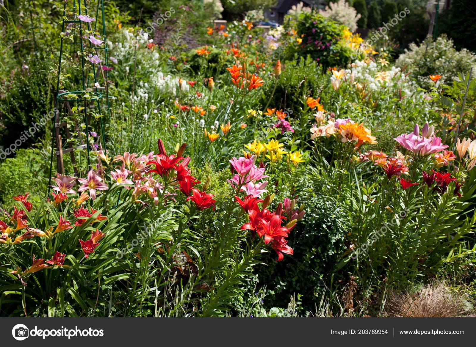 Lilien Einem Bunten Garten Stockfoto Swavo 203789954
