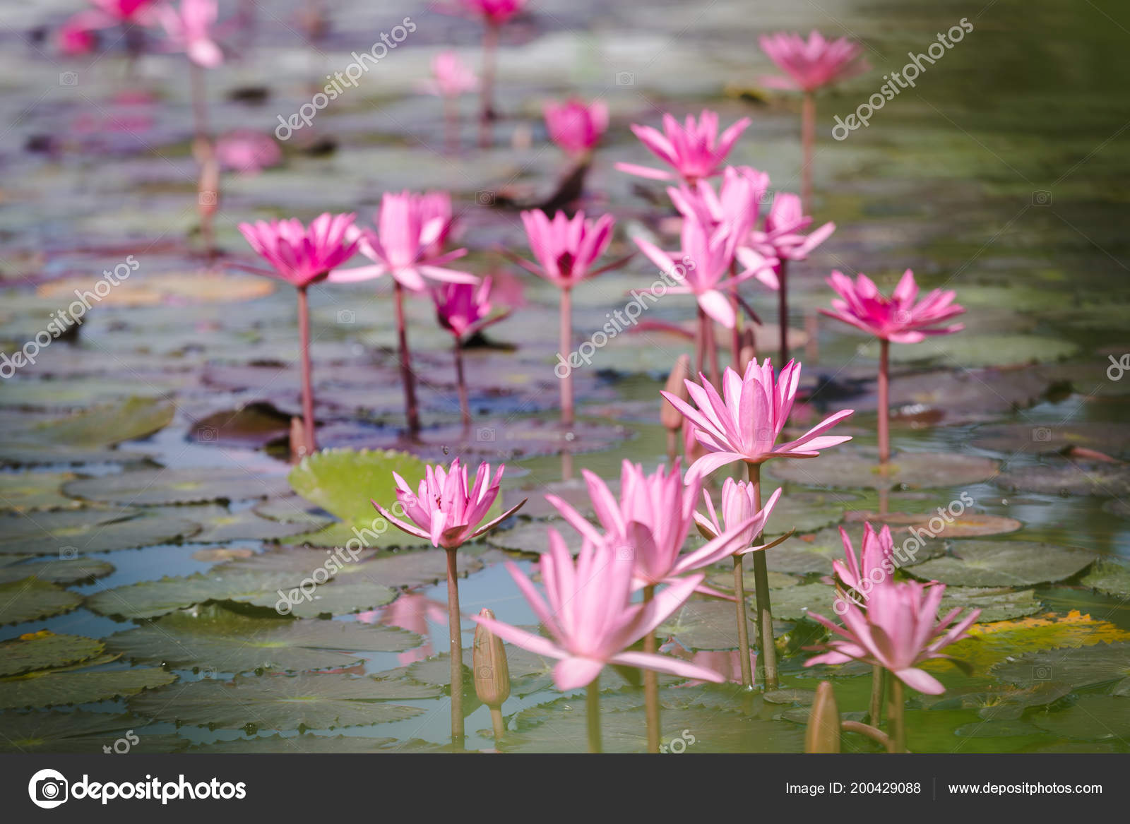 Beautiful Closeup Water Lily Lotus Flower Pink Color Lotus Flower