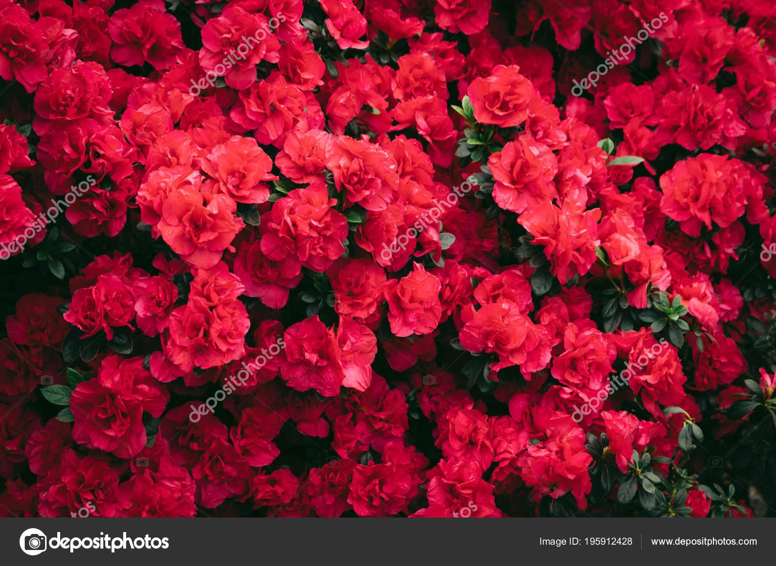 Descargar Fondos De Pantalla Para Pc Flores: Fondos De Pantalla De Flores Rosas