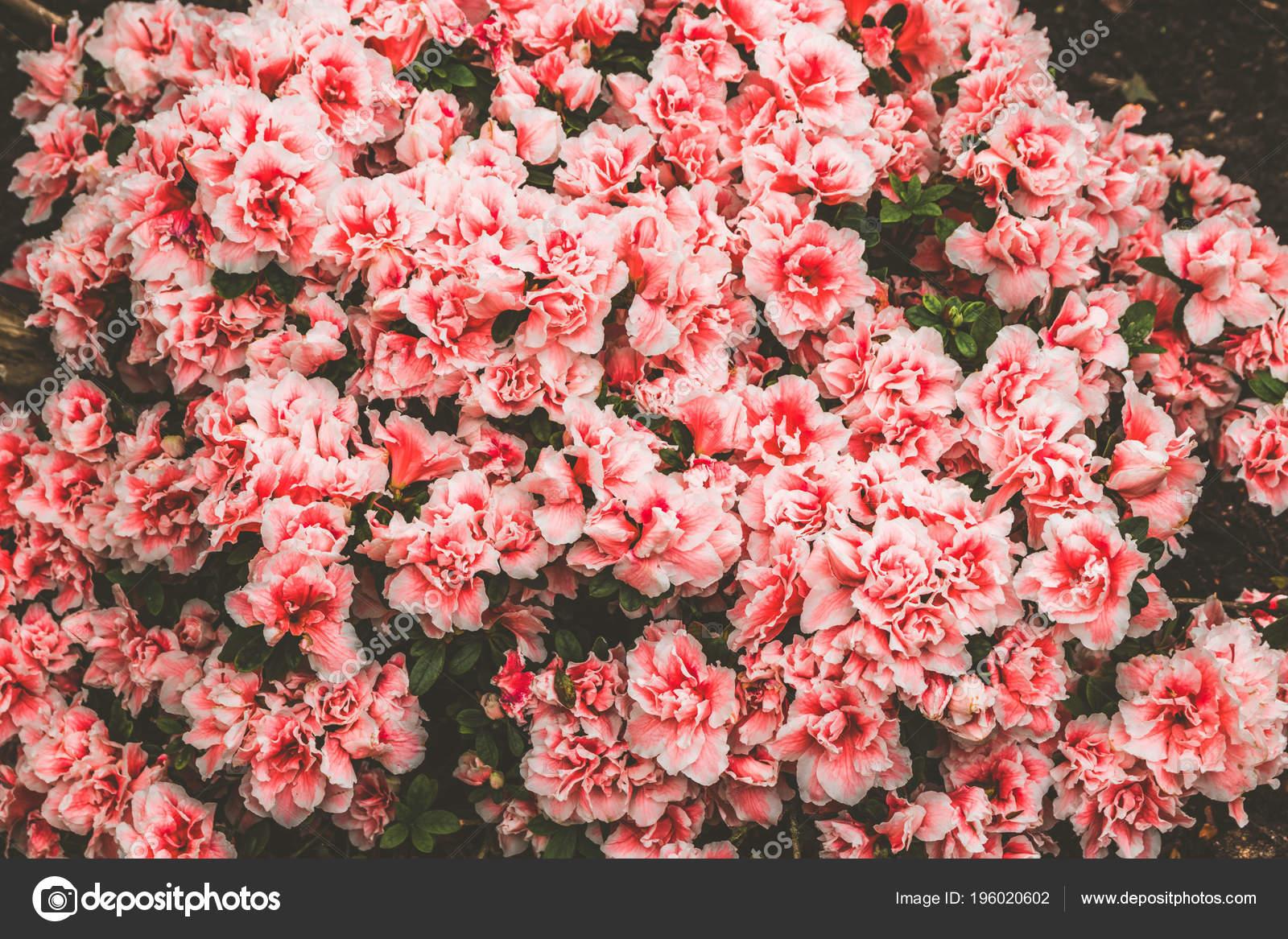 Fondo De Pantalla Flores Rosas