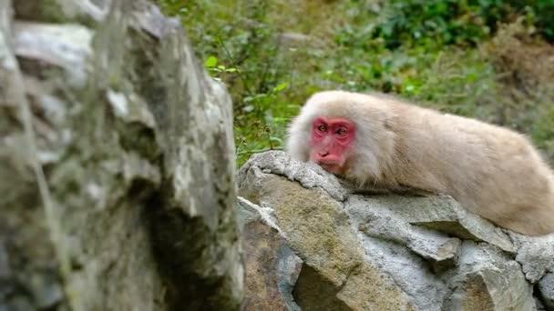 Egy felnőtt férfi japán makákó (hómajom) pihen egy sziklán, és finoman becsukja a szemét, hómajom park, Nagano, Japán.
