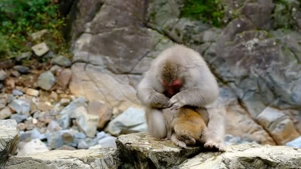 A female monkey nurses her infant, clean its fur and eating the fleas, while her cub is sleeping, snow monkey park, Nagano, Japan.
