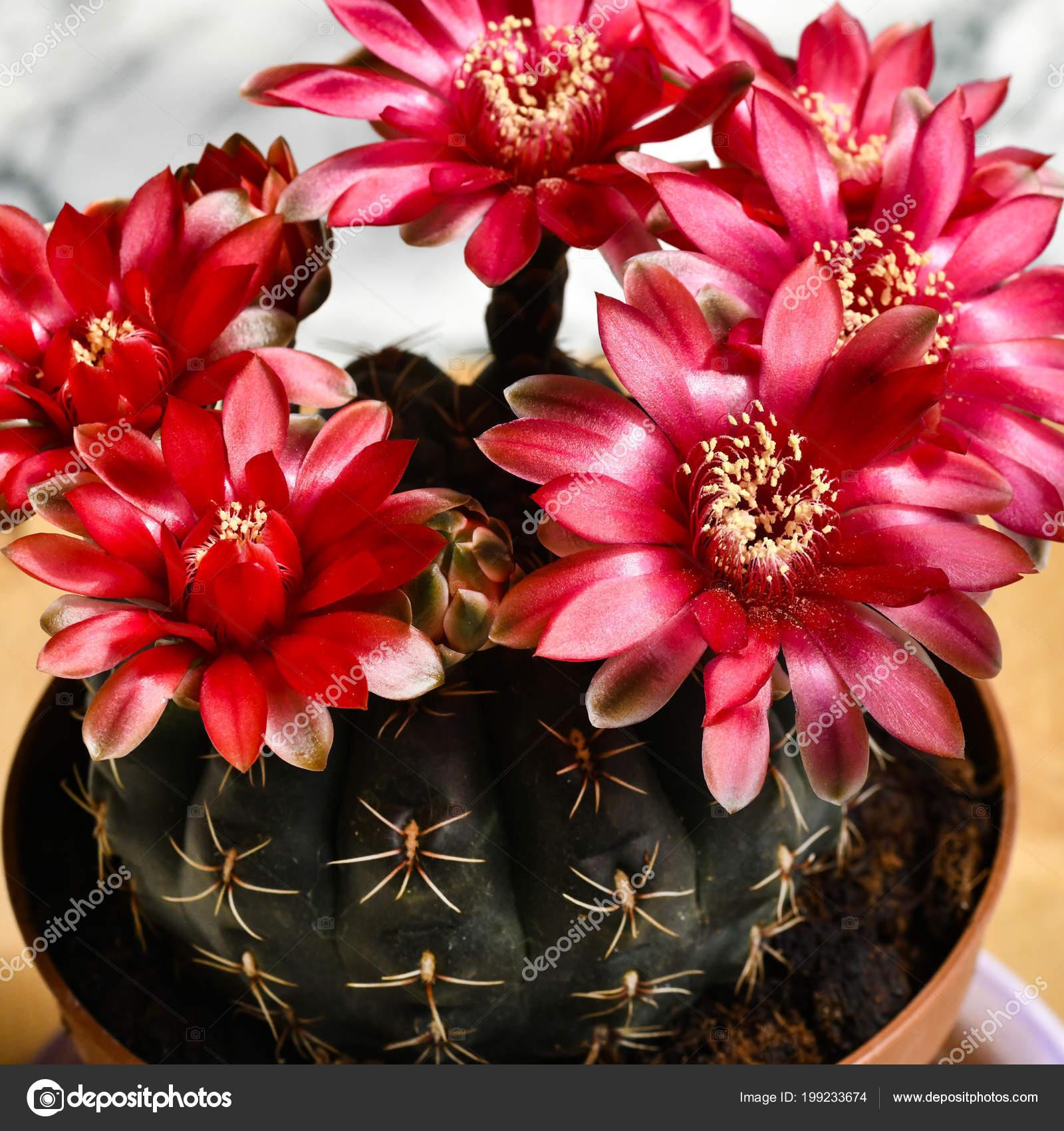 Quadratische Makro Kahl Schöne Blühende Kaktus Zimmerpflanze Mit