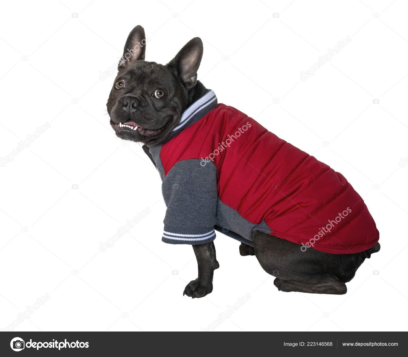 Einen Blaue Bulldogge Mantel Französische Roten Trägt tsQrChd