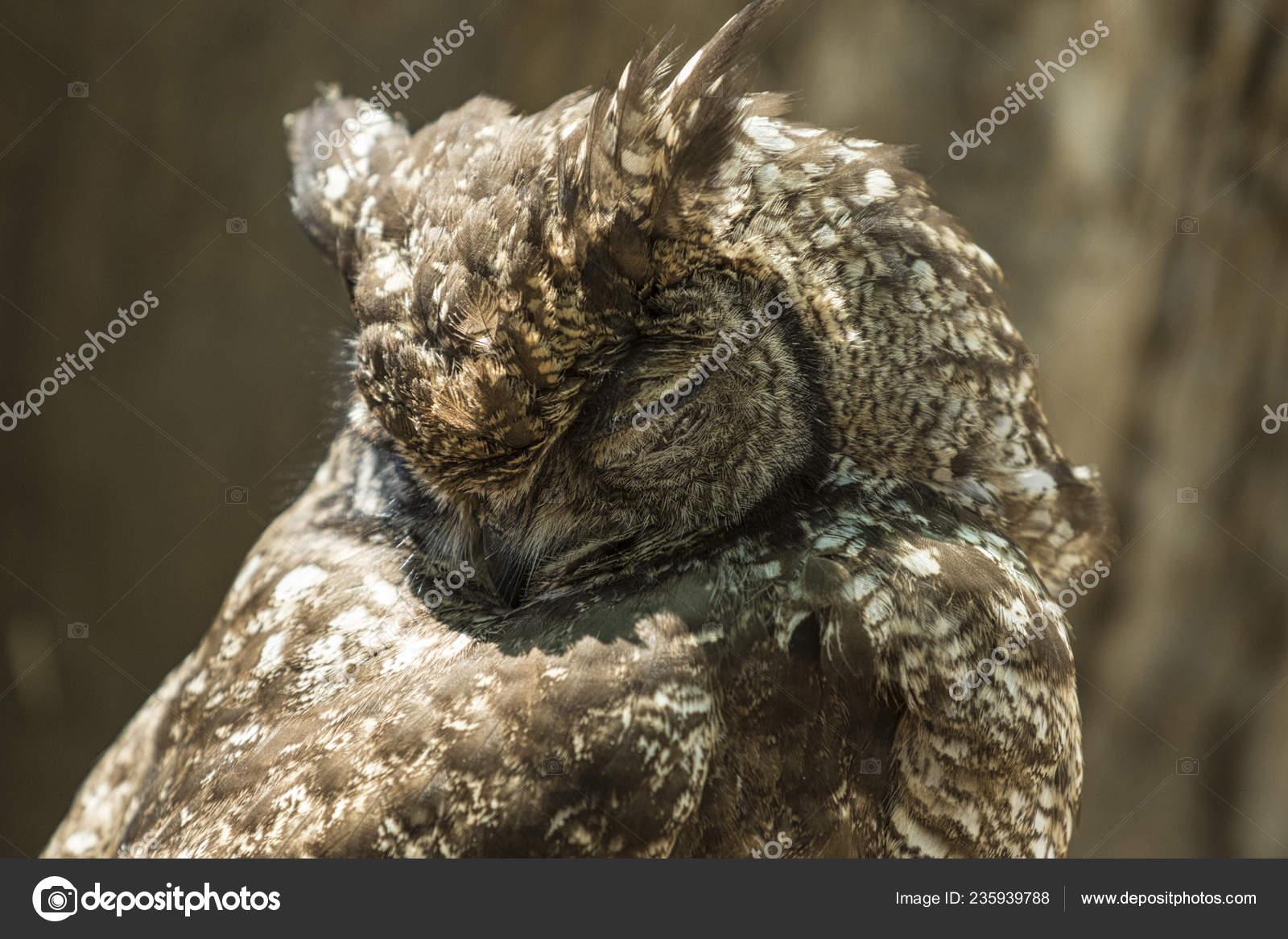 Aguila En La Espalda buho Águila dormir con cabeza descansando sobre espalda sol