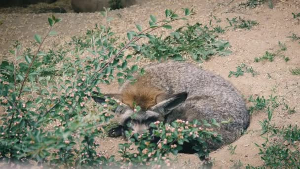 Bat-eared fox lying among the plants. African fox with large ears
