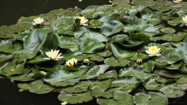 Nymphaea (Hollandia) Waterlily in a pond