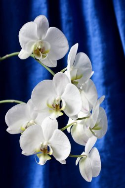 white orchids on a background of linen curtains