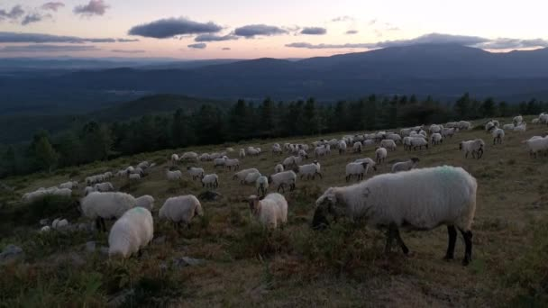 Stádo ovcí pasoucí se na louce při západu slunce