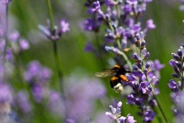 lavender flower in flower garden.