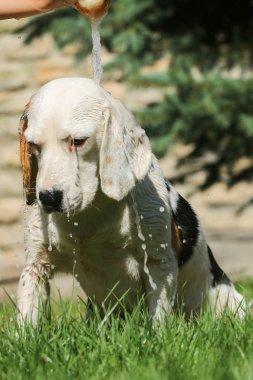 Beagle take a summer bath