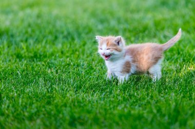 Ginger little kitten close-up on a blurry background in a colorful backyard. Funny domestic animals on green grass