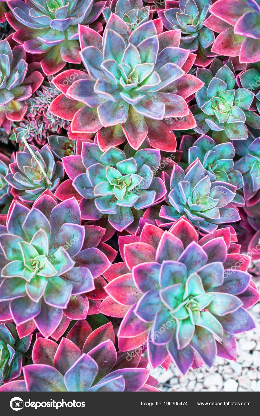 Images Echeveria Plants Succulent Plants Top View