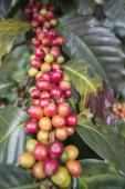 Thajská kávová plantáž