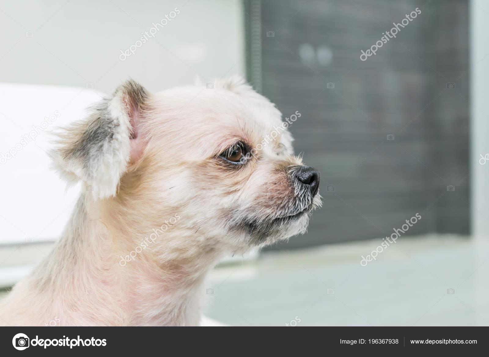 Dog Cute Mixed Breed Shih Tzu Pomeranian Poodle Looking Something Stock Photo C Pongmoji 196367938