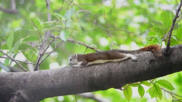 Squirrel is mammal animal and member of the family Sciuridae brown color on a tree in the nature wild