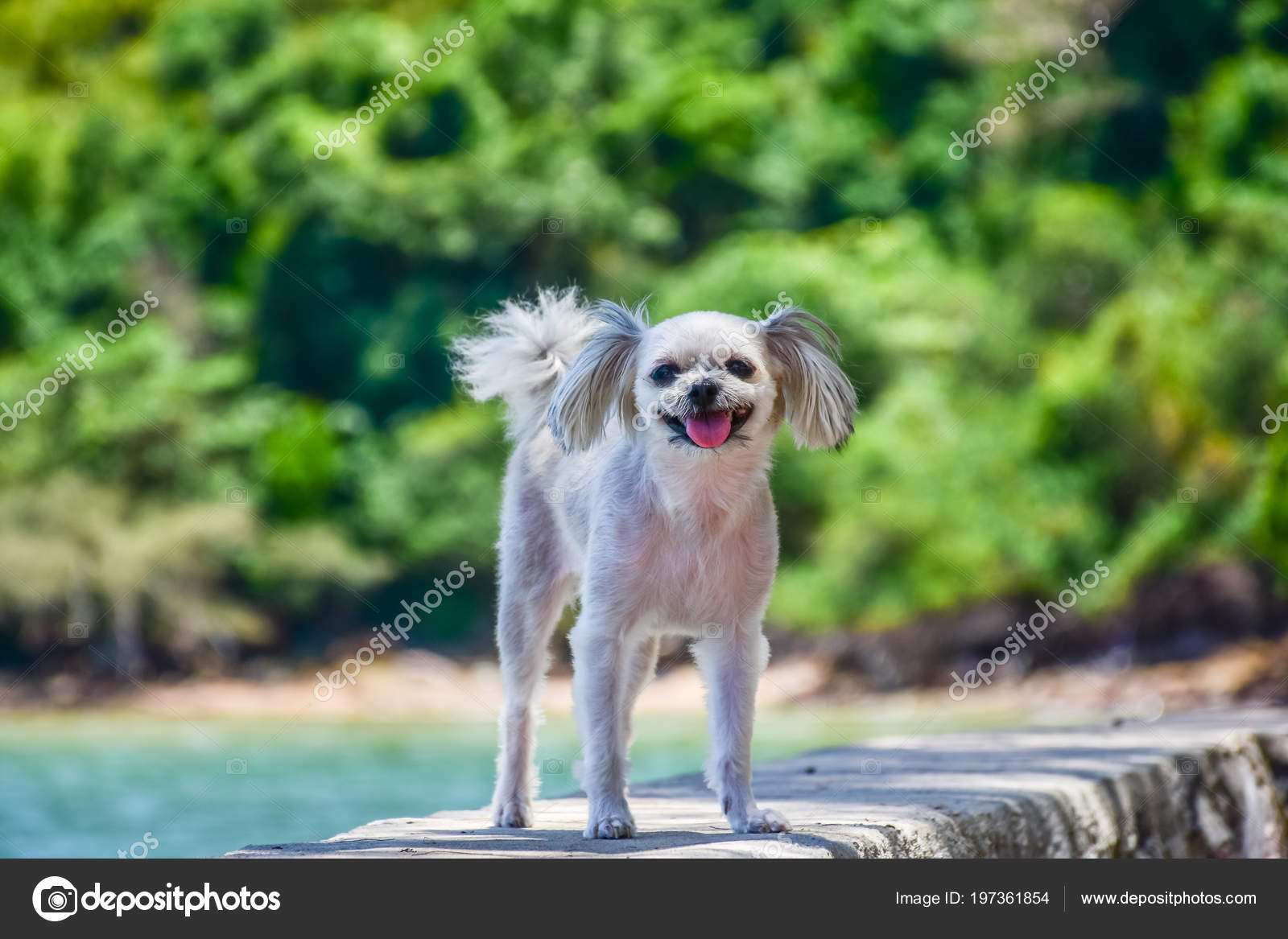 Dog Cute Beige Color Mixed Breed Shih Tzu Pomeranian Poodle Stock