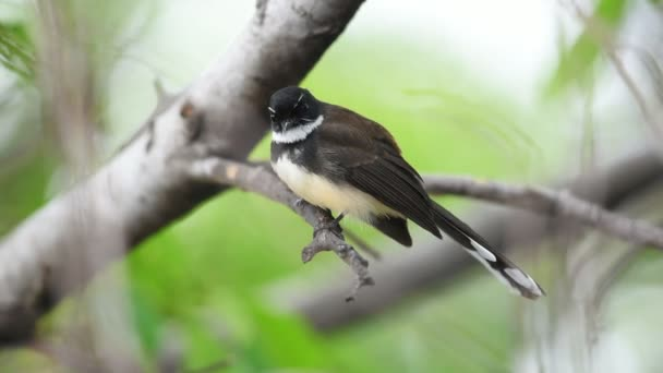 Bird (Malaysian Pied Fantail, Rhipidura javanica) black and white color perched on a tree in a nature wild