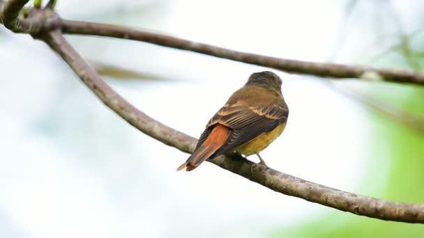 Vogel (eisenhaltiger Fliegenschnäpper, Muscicapa ferruginea) brauner Zucker, orange und rote Farbe auf einem Baum in freier Natur, Verbreitung ungewöhnlich