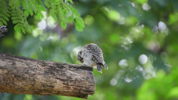 Pták (Sýček brahmínský, Athene brama, sova), hnědé, černé a bílé barvy sedí na stromě v divoké přírodě