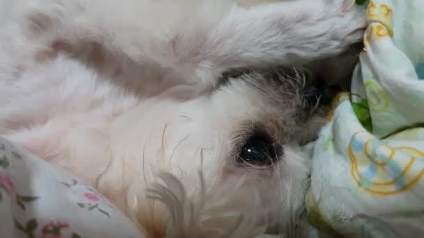 Dog Cute Mixed Breed Shih Tzu Pomeranian Poodle Sitting Sleep