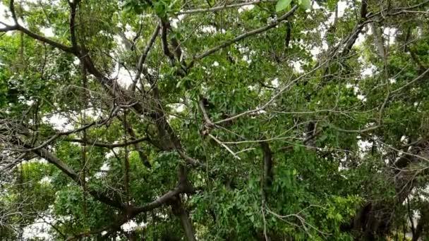 Zpomalený pohyb ptáků (Malajský Pied Fantail, Rhipidura javanica) černé a bílé barvy sedí na stromě v divoké přírodě