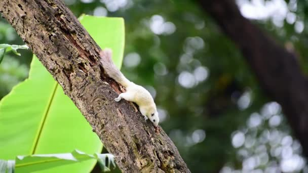 Squirrel is mammal animal and member of the family Sciuridae white color on a tree in the nature wild