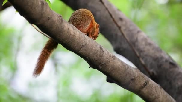 Squirrel is mammal animal and member of the family Sciuridae red brown color on a tree in the nature wild
