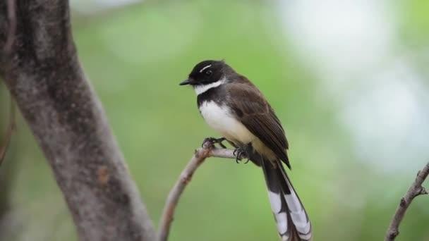 Pták (Malajský Pied Fantail, Rhipidura javanica) černé a bílé barvy sedí na stromě v divoké přírodě