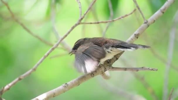 Vogel (malaysische Rattenfantail, rhipidura javanica) schwarz-weiße Farbe hockt und füttert Baby-Vogel auf einem Baum in einer wilden Natur