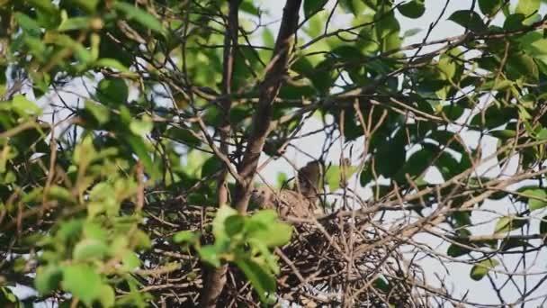 Madarak (galamb, galamb vagy könnyűzenei) galambok és a galambok faágon ül a természetben vadon élő