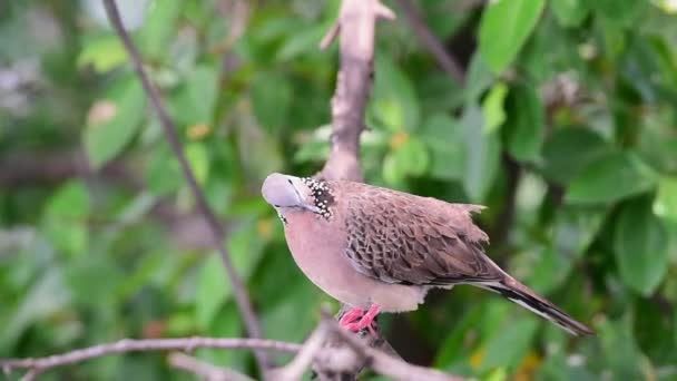 Uccello (colomba, piccione o disambigua) piccioni e colombe appollaiato su un albero in una natura selvaggia